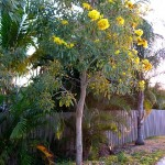 Tabebuia tree planted on East Ocean Blvd in Stuart, Florida - 2010